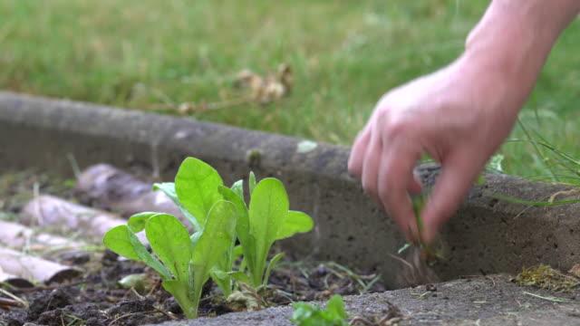 weeding in vegetable garden - entfernen stock-videos und b-roll-filmmaterial