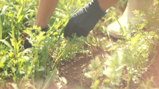 vídeos de stock e filmes b-roll de weeding up close - solo