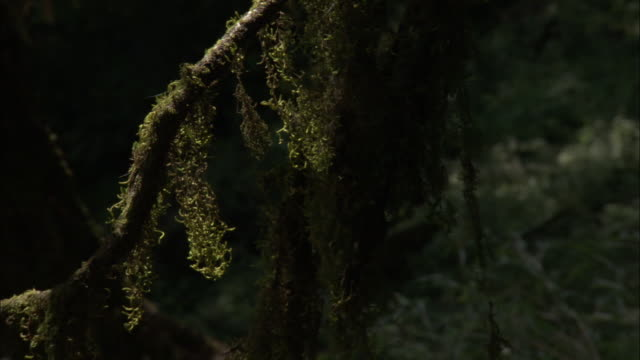 weedy fronds on mossy branch, chopta, india available in hd. - epiphyte stock videos & royalty-free footage