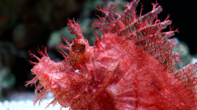 weedy scorpionfish animal life in the underwater - weedy scorpionfish stock videos and b-roll footage