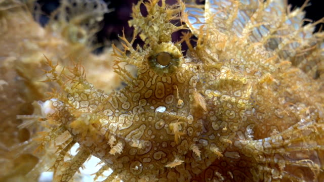 weedy scorpionfish animal life in the underwater - camouflage stock videos & royalty-free footage