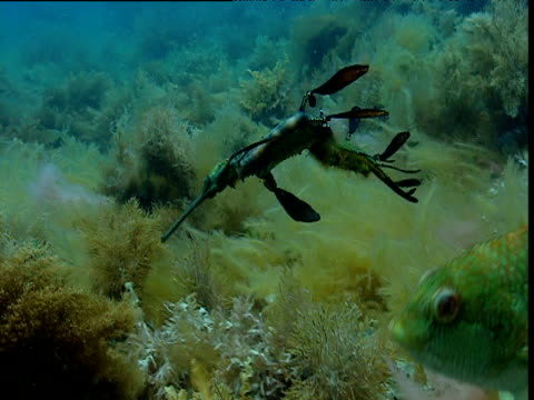 weedy sea dragon swims back and forth amongst seaweed fronds, kangaroo island, tasmania - seahorse stock videos & royalty-free footage