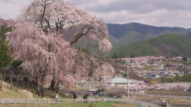 Weeping cherry blossoms at Katsuma Yakushido