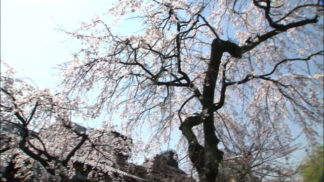 weeping cherry blossoms - gion stock videos and b-roll footage