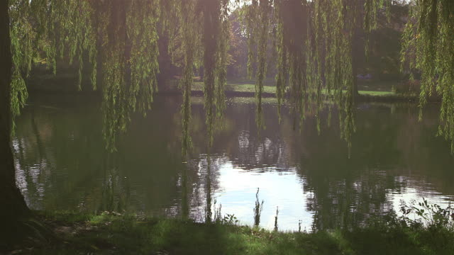 weeping willow by the lake - pan - trauerweide stock-videos und b-roll-filmmaterial