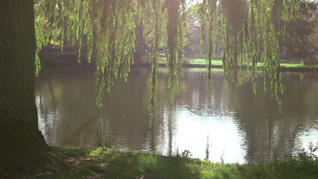 weeping willow by the lake - trauerweide stock-videos und b-roll-filmmaterial