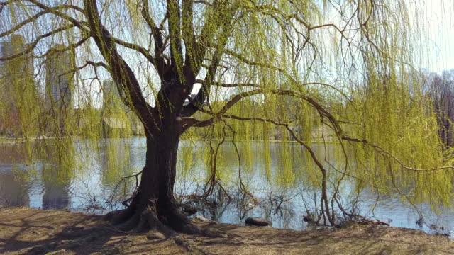 weben willow im central park, manhattan, new york city, usa - trauerweide stock-videos und b-roll-filmmaterial