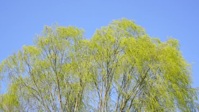 weeping willow is blowing in the springtime wind, gimpo, kyonggi-do province - kyonggi do province stock videos and b-roll footage