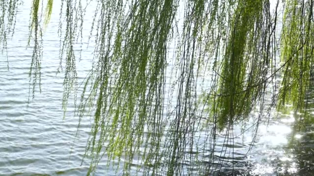 vídeos y material grabado en eventos de stock de weeping willow is blowing in the springtime wind, gimpo, kyonggi-do province - sauce