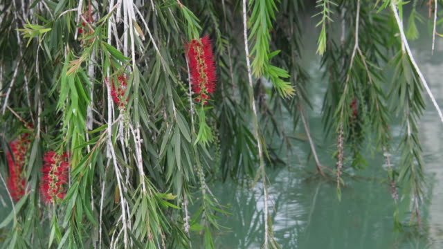 weeping willow tree flowers and leaves. the tree is planted close to the 'mayajigua lake' waters in sancti spiritus, cuba - trauerweide stock-videos und b-roll-filmmaterial