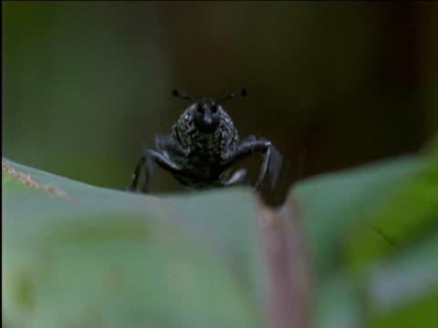 weevil clambers up leaf - tierische nase stock-videos und b-roll-filmmaterial