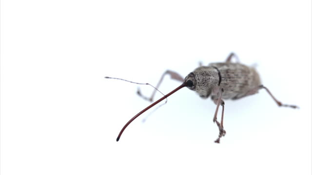weevil on white background hd - invertebrate stock videos and b-roll footage