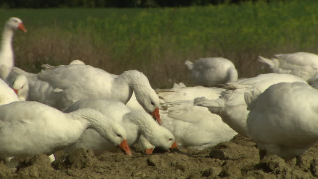weidegans - free range geese eating mud - 20 seconds or greater stock videos & royalty-free footage