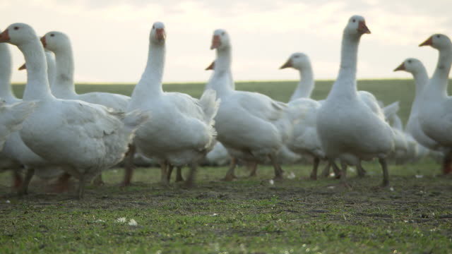 weidegans - free range geese exploring their farm - 20 seconds or greater stock videos & royalty-free footage