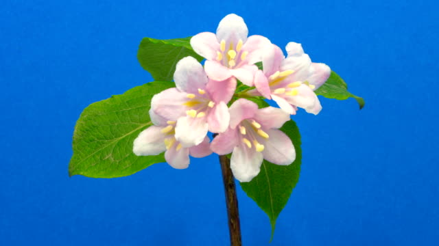 Weigela florida blooming against chroma key