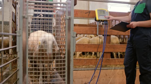 DS Weighing the sheep