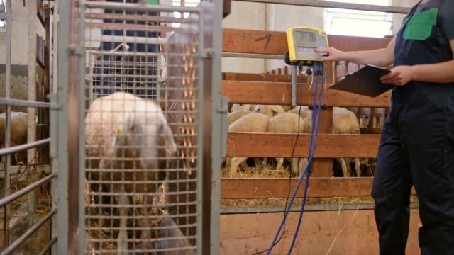 vídeos de stock e filmes b-roll de ds weighing the sheep - ovelha mamífero ungulado