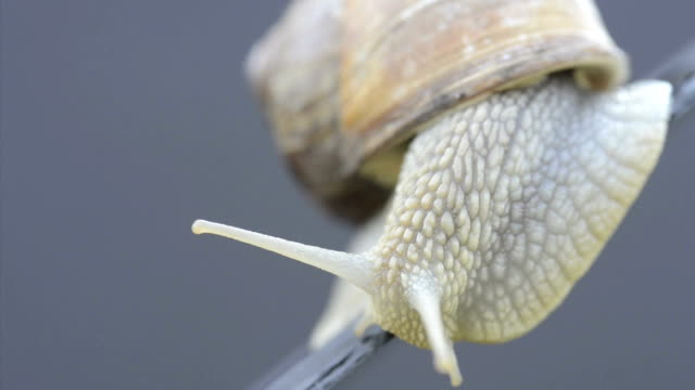 weinbergschnecke snail - mollusk stock videos & royalty-free footage