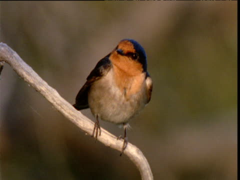 welcome swallow perched on twig looks about and flies away, northern territory, australia - twig stock videos and b-roll footage