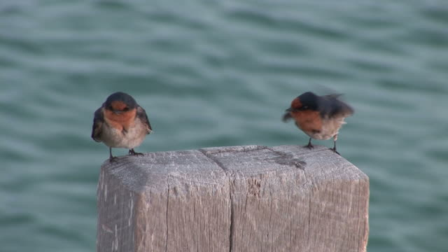 welcome swallow (hirundo neoxena) young birds preening.  australia - animal attribute stock videos and b-roll footage