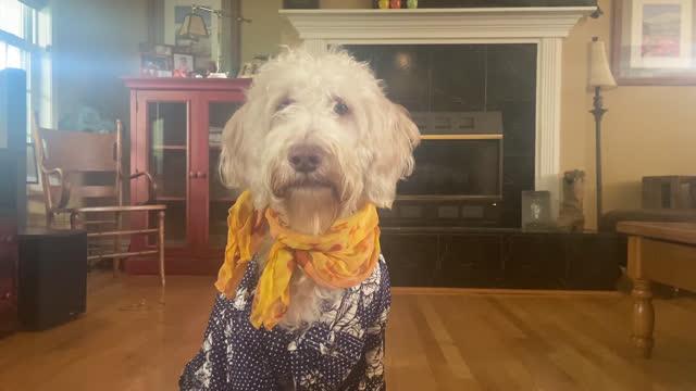 vídeos y material grabado en eventos de stock de well-dressed dog wearing a shirt and scarf listens during a video conference call - bien vestido