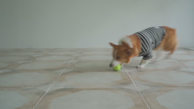 a welsh corgi dog holding tennis ball in its mouth indoors - 動物の脚点の映像素材/bロール