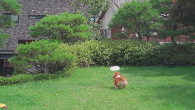 a welsh corgi dog playing frisbee on the lawn - 動物の脚点の映像素材/bロール