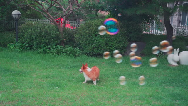 a welsh corgi dog running and bubbles on the lawn - cagnolino da salotto video stock e b–roll