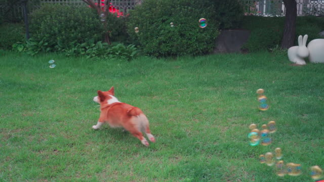 A Welsh Corgi dog running and bubbles on the lawn