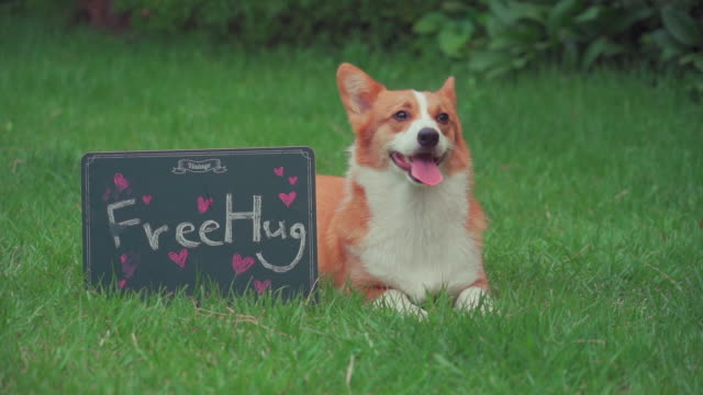 a welsh corgi dog sitting and free hug bard on the lawn - 動物の脚点の映像素材/bロール