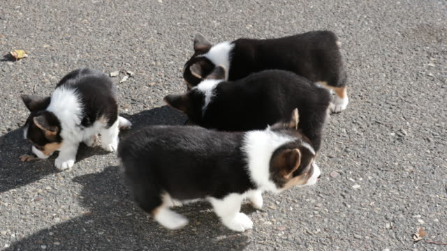 welsh corgi puppies eating, walking around - tiergruppe stock-videos und b-roll-filmmaterial