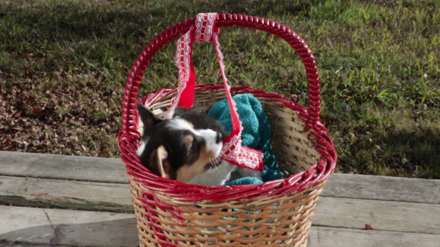 Welsh Corgi puppy playing in basket