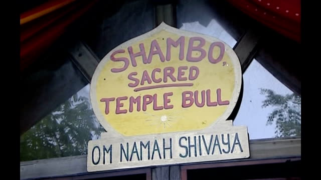 vídeos de stock e filmes b-roll de welsh hindus fight to save bull with tb wales carmarthen om namah shivaya int shambo in temple stall and general views temple - tuberculose