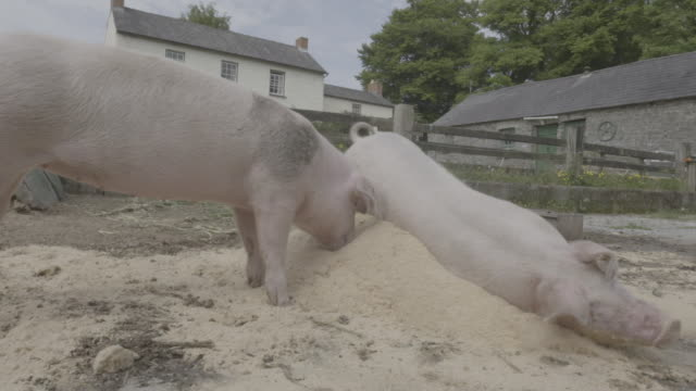 welsh pigs in farmyard (sus scrofa domesticus) - pig stock videos & royalty-free footage