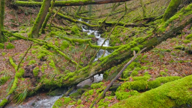 wenichbach brook in the natural forest tabener urwald (taben primeral forest), taben-rodt, rhineland-palatinate, germany, europe - log stock videos & royalty-free footage