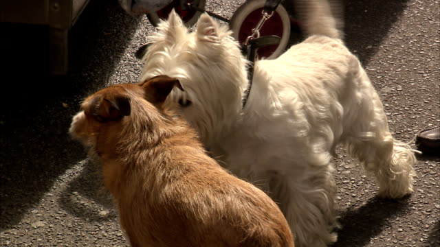 A West Highland Terrier wags its tail as it sniffs another dog. Available in HD.