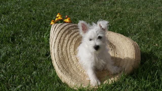 vídeos de stock, filmes e b-roll de west highland white terrier puppy in hat - pet clothing