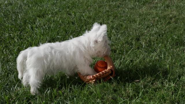 west highland white terrier puppy playing with baseball mitt and ball - 野球用グローブ点の映像素材/bロール