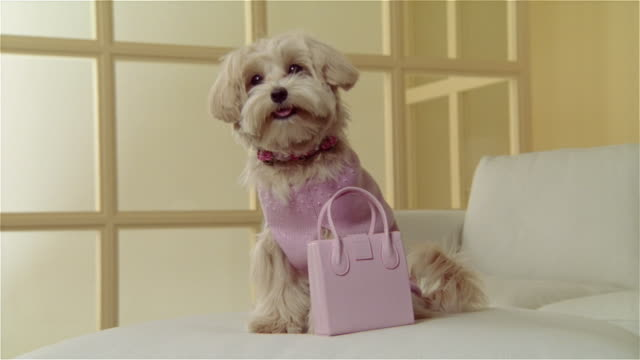 MS, West highland white terrier wearing pink sweater sitting on sofa at pink handbag