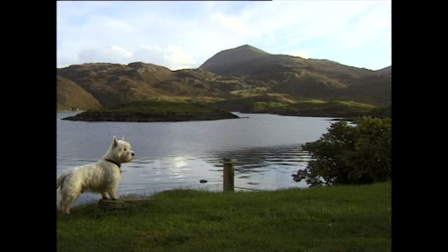 vidéos et rushes de west highland white terrier with scottish loch and hills; 1996 - scottish culture