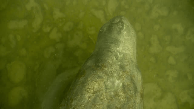 west indian manatee blows bubbles on sea bed, belize - aquatic organism stock videos & royalty-free footage
