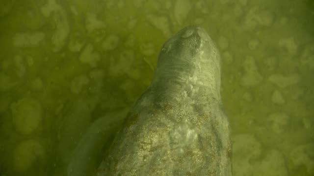 vídeos de stock e filmes b-roll de west indian manatee blows bubbles on sea bed, belize - organismo aquático