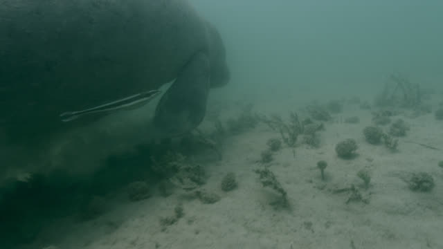 west indian manatee moves along sea bed, belize - sea grass plant stock videos & royalty-free footage