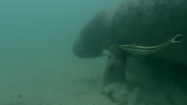 west indian manatee moves along sea bed, belize - remora fish stock videos & royalty-free footage