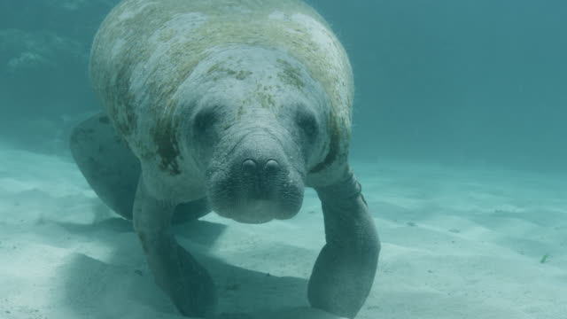 west indian manatee on sea bed, belize - aquatic organism stock videos & royalty-free footage