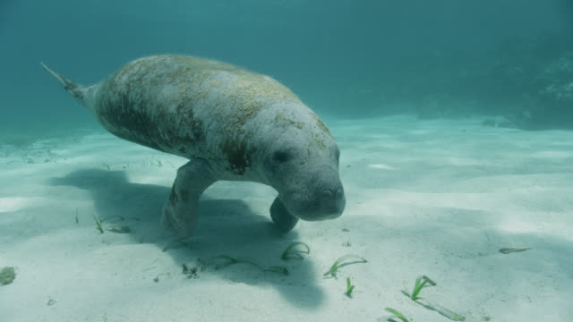 west indian manatee on sea bed, belize - lamantino video stock e b–roll