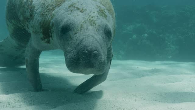vídeos de stock e filmes b-roll de west indian manatee on sea bed, belize - organismo aquático