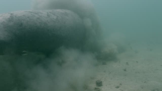 west indian manatee stirs up silt, belize - remora fish stock videos & royalty-free footage