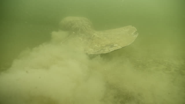 west indian manatee stirs up silt, belize - aquatic organism stock videos & royalty-free footage