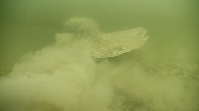 vídeos de stock e filmes b-roll de west indian manatee stirs up silt, belize - organismo aquático